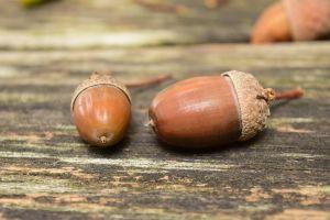 acorns-1678771__480